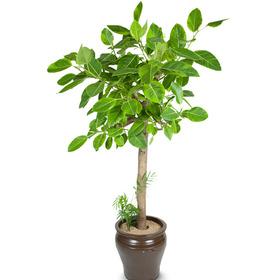 벵갈고무나무(미세먼지 정화)