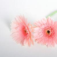 45. 핑크거베라 (1단10줄기)